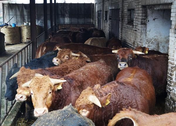 zdjęcie krów